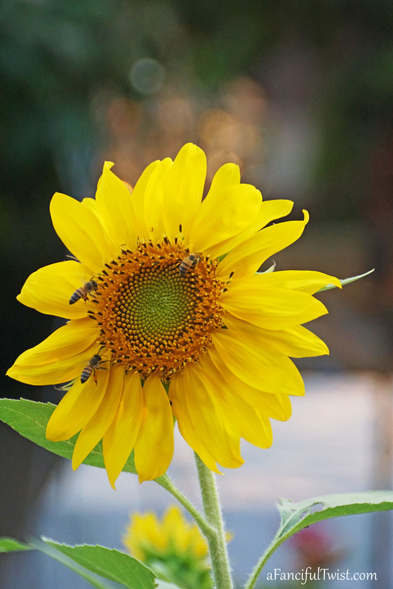 Sunflower summer 4