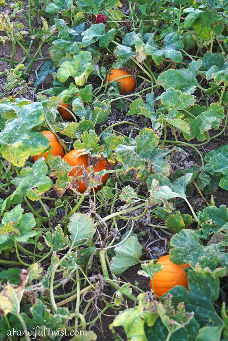 Autumn garden pumpkin patch 2