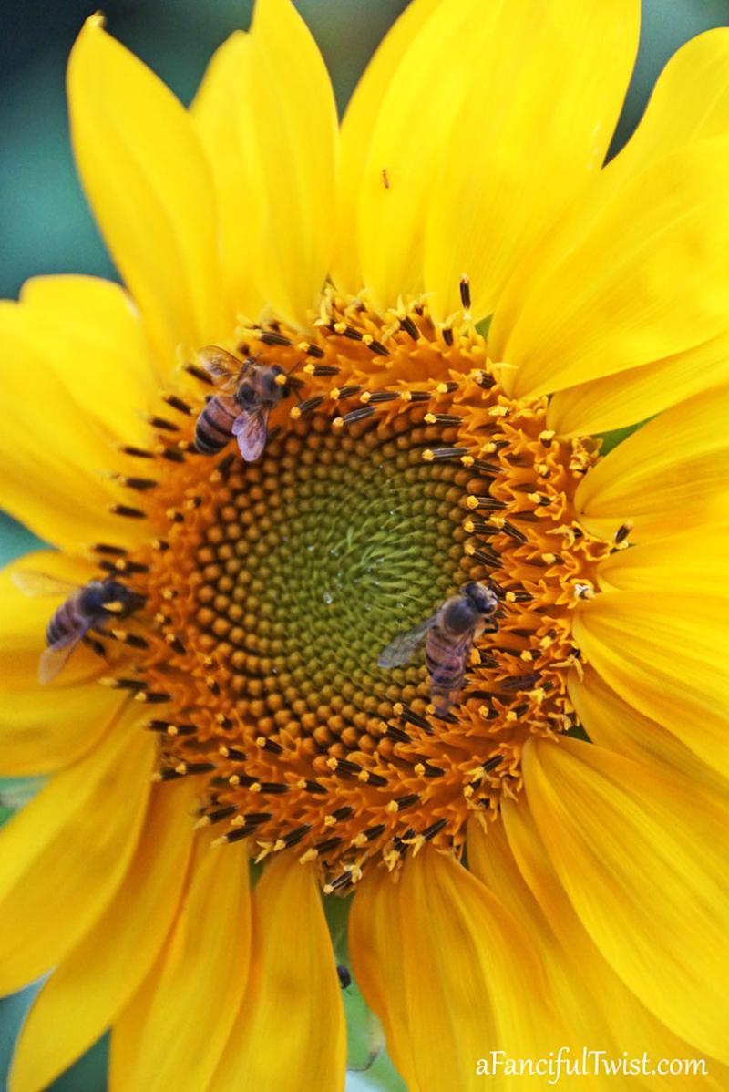 Sunflower summer 5