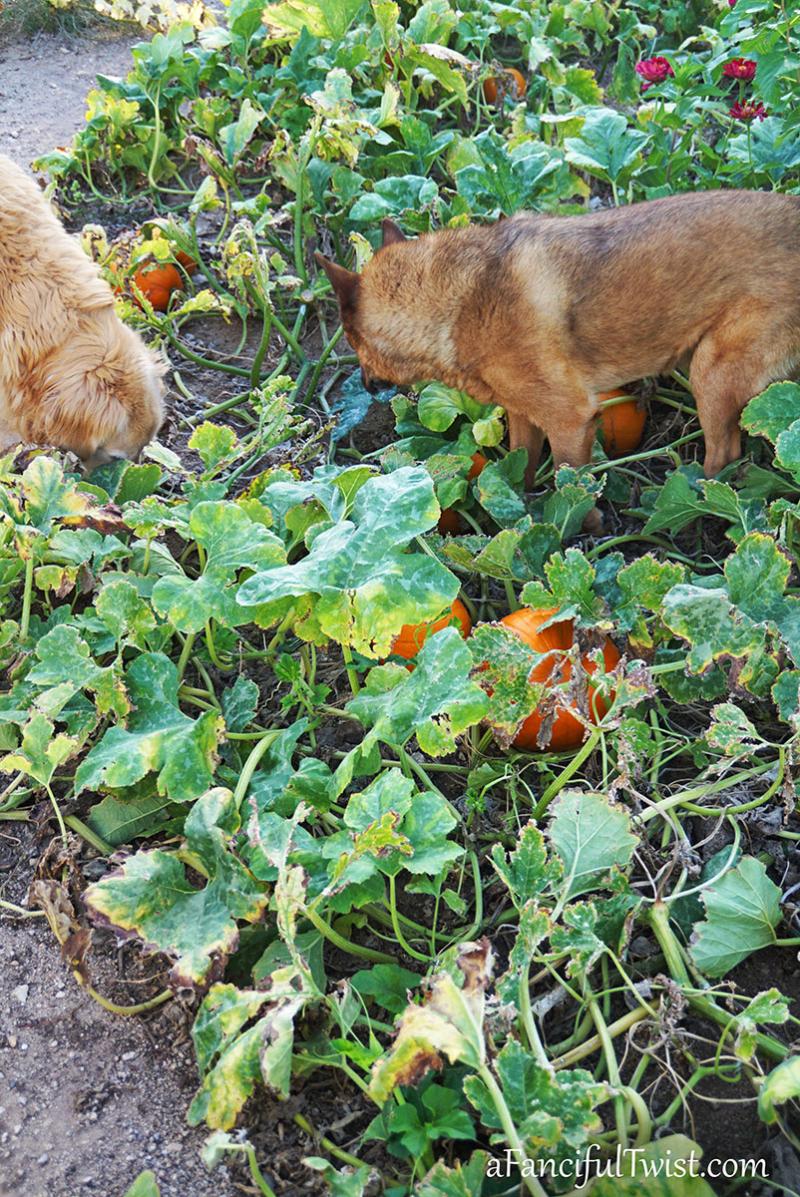 Autumn garden pumpkin patch 4