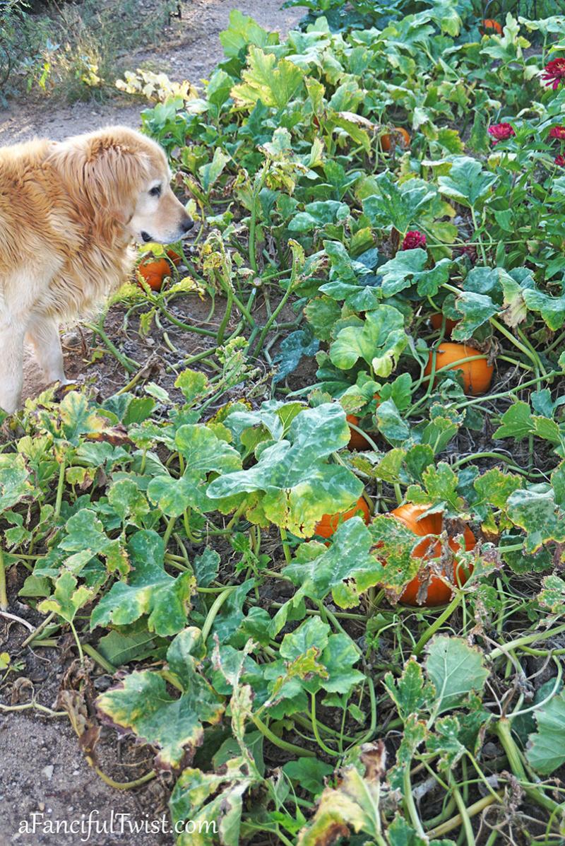 Autumn garden pumpkin patch 3