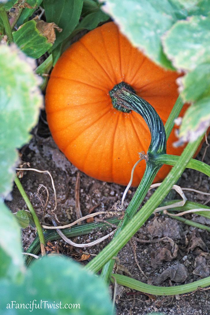 Autumn garden pumpkin patch 7