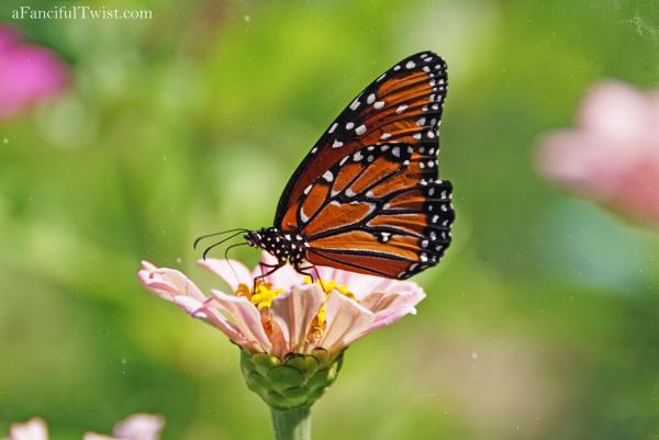 Butterfly summer 11