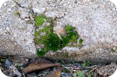 Moss_in_cracks